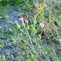 ウスベニニガナ花