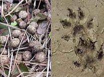 ノウサギの糞    イタチの足跡