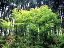 ブナ自然林復元実験地